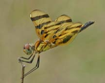 dragonflies and damselflies of the west paulson dennis